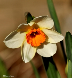 daffodil-i77a8465-maria-de-bruyn-res
