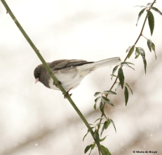 dark-eyed-junco-i77a2590-maria-de-bruyn-res