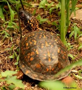 eastern-box-turtle-i77a8380-maria-de-bruyn-res