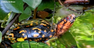 eastern-box-turtle-img_1392-maria-de-bruyn-res