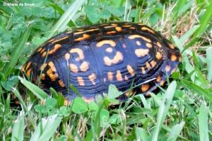 eastern-box-turtle-img_1422-maria-de-bruyn-res