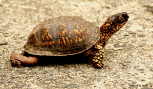 eastern-box-turtle-male-i77a8333-maria-de-bruyn-res