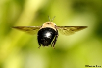 eastern-carpenter-bee-i77a8678-maria-de-bruyn-res
