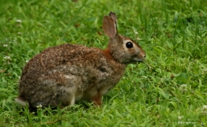 eastern-cottontail-i77a9747-maria-de-bruyn-res
