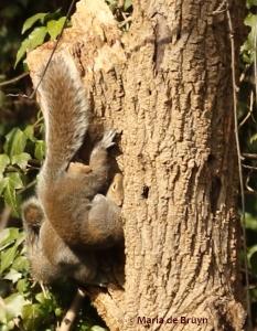 eastern-gray-squirrel-77a0929-maria-de-bruyn