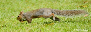 eastern-gray-squirrel-i77a0026-maria-de-bruyn-res