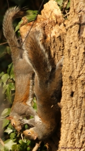 eastern-gray-squirrel-i77a1104-maria-de-bruyn-res