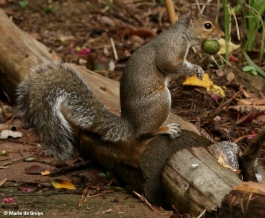 eastern-gray-squirrel-i77a4579-maria-de-bruyn-res