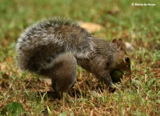eastern-gray-squirrel-i77a4938-maria-de-bruyn-res
