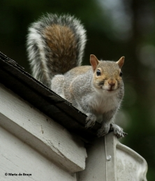 eastern-gray-squirrel-i77a5492-maria-de-bruyn-res