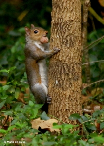 eastern-gray-squirrel-i77a6837-maria-de-bruyn-res