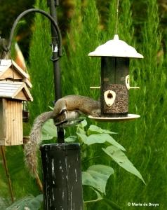 eastern-gray-squirrel-i77a7478-maria-de-bruyn-res