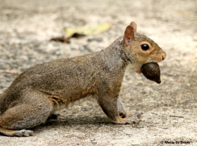 eastern-gray-squirrel-i77a9947-maria-de-bruyn-res