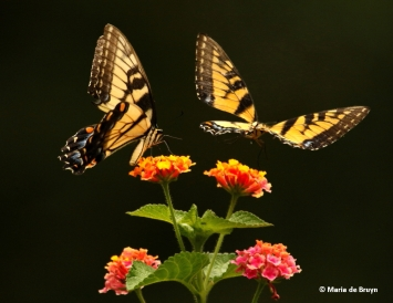 eastern-tiger-swallowtail-i77a8669-maria-de-bruyn-res