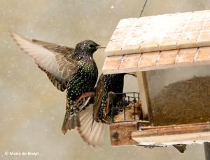 european-starling-i77a2674-maria-de-bruyn-res