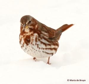 fox-sparrow-i77a3773-maria-de-bruyn-res