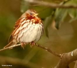 fox-sparrow-i77a4347-maria-de-bruyn