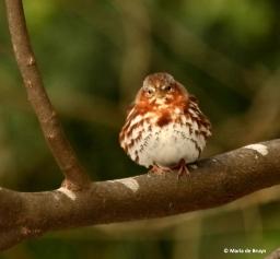 fox-sparrow-i77a4348-maria-de-bruyn-res