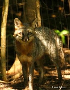 gray-fox-faith-i77a1197-maria-de-bruyn-res