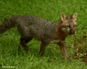 gray-fox-i77a1236-maria-de-bruyn-res