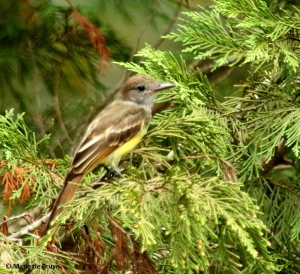 great-crested-flycatcher-i77a6714-maria-de-bruyn-res