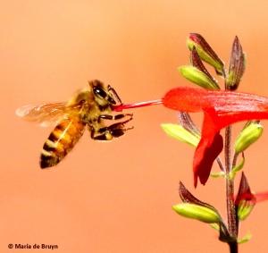 honey-bee-morning-calisthenics-i77a5676-maria-de-bruyn-res
