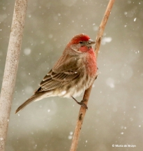 house-finch-i77a2852-maria-de-bruyn-res