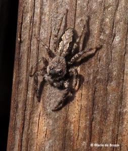 jumping-spider-img_0562_1-maria-de-bruyn