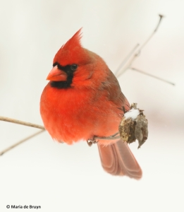 northern-cardinal-i77a3099-maria-de-bruyn-res
