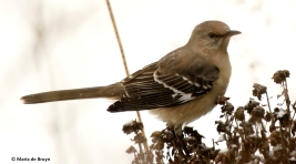 northern-mockingbird-i77a2714-maria-de-bruyn-res