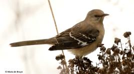 northern-mockingbird-i77a2714-maria-de-bruyn-res