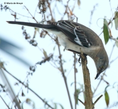 northern-mockingbird-i77a3629-maria-de-bruyn-res