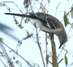 northern-mockingbird-i77a3629-maria-de-bruyn-res