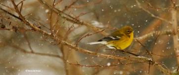 pine-warbler-i77a2441-maria-de-bruyn-res