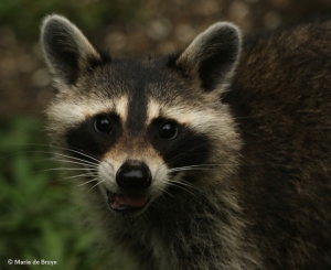 raccoon-i77a5906-maria-de-bruyn-res