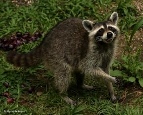 raccoon-i77a5969-maria-de-bruyn-res