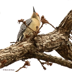 red-bellied-woodpecker-i77a4047-maria-de-bruyn-res
