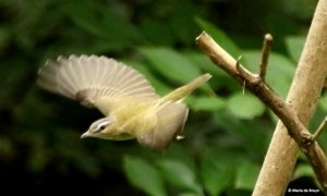red-eyed-vireo-i77a6755-maria-de-bruyn-res