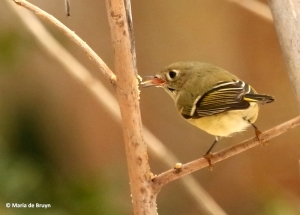 ruby-crowned-kinglet-i77a4167-maria-de-bruyn-res