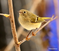 ruby-crowned-kinglet-i77a4263-maria-de-bruyn-res