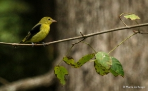 scarlet-tanager-i77a0102-maria-de-bruyn-res