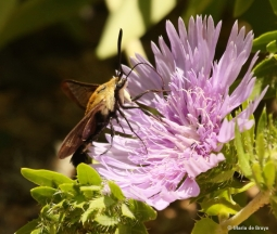 snowberry-clearwing-moth-i77a5324-maria-de-bruyn-res