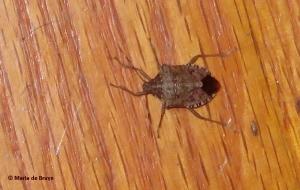 stink-bug-img_0575maria-de-bruyn-res