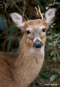 white-tailed-deer-i77a1366-maria-de-bruyn-res