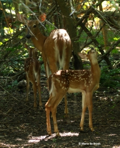 white-tailed-deer-i77a2126-maria-de-bruyn-res