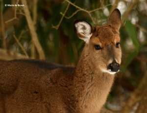white-tailed-deer-i77a4029-maria-de-bruyn-res