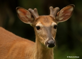 white-tailed-deer-i77a4097-maria-de-bruyn-res