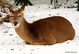 white-tailed-deer-i77a4432-maria-de-bruyn-res