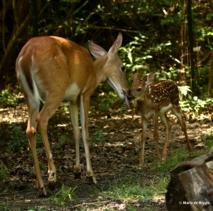 white-tailed-deer-i77a7463-maria-de-bruyn