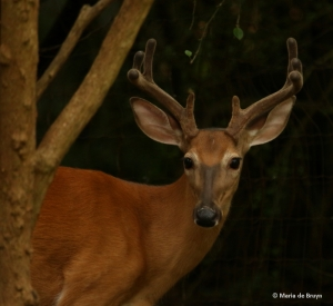 white-tailed-deer-i77a9813-maria-de-bruyn-res